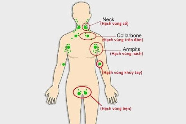 Một số nhóm hạch bạch huyết nằm nông trên cơ thể