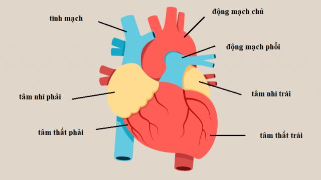 Cấu trúc tim bình thường.