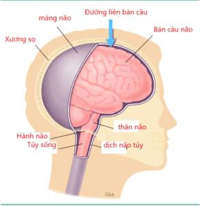 u màng não