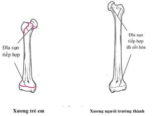Sự phát triển của xương