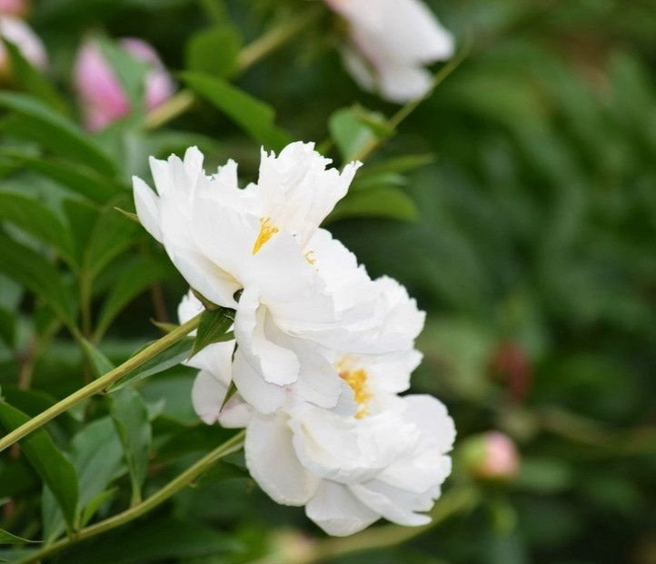 Hoa của cây Thược dược Trung Quốc