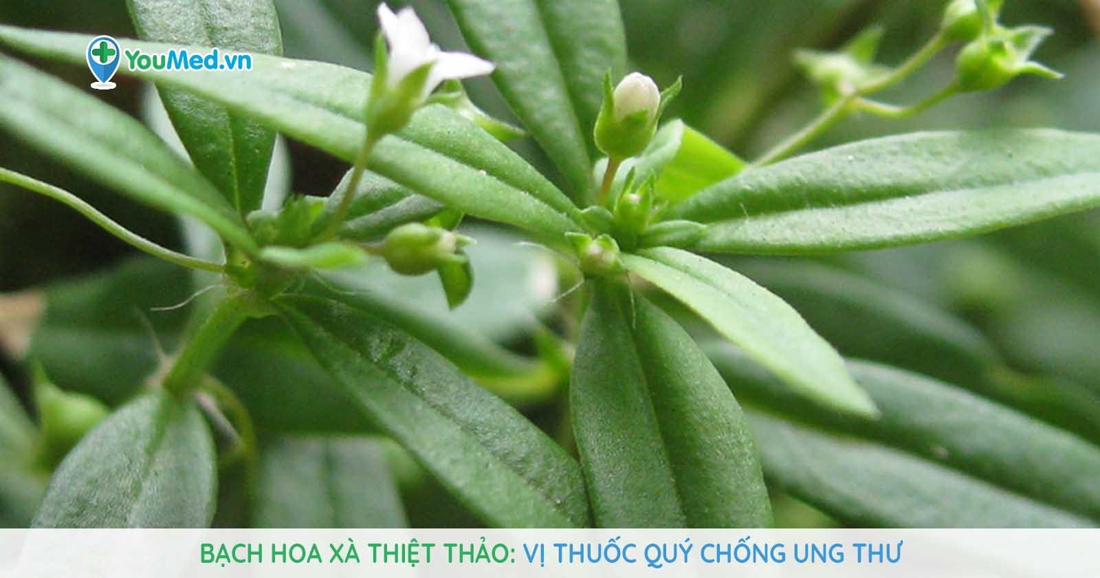 Bạch hoa xà thiệt thảo: Vị thuốc quý chống ung thư