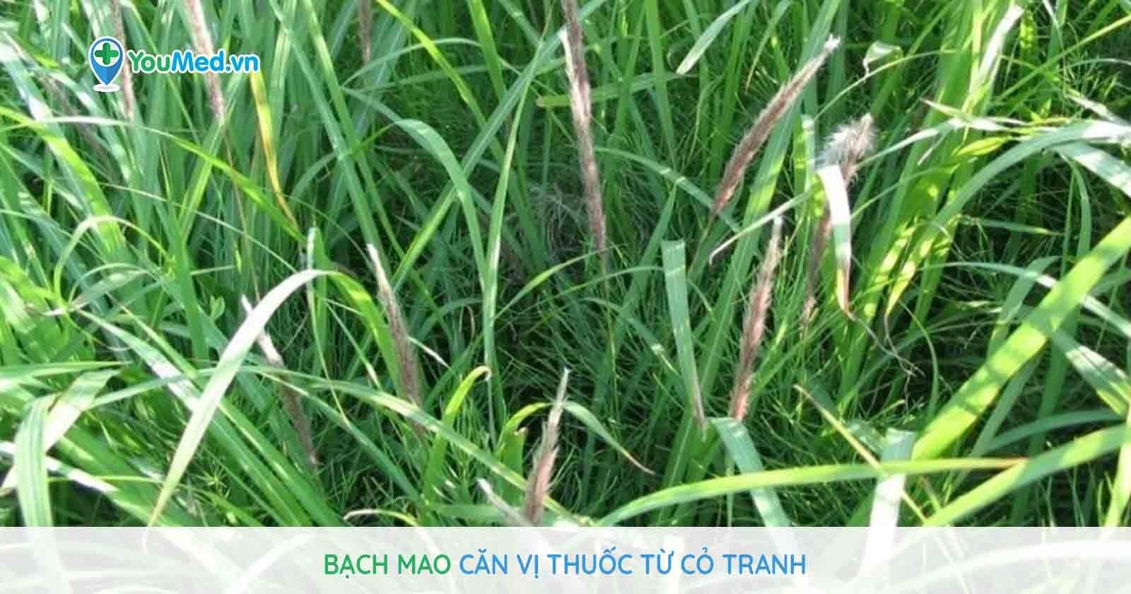 Bạch mao căn vị thuốc từ cỏ tranh