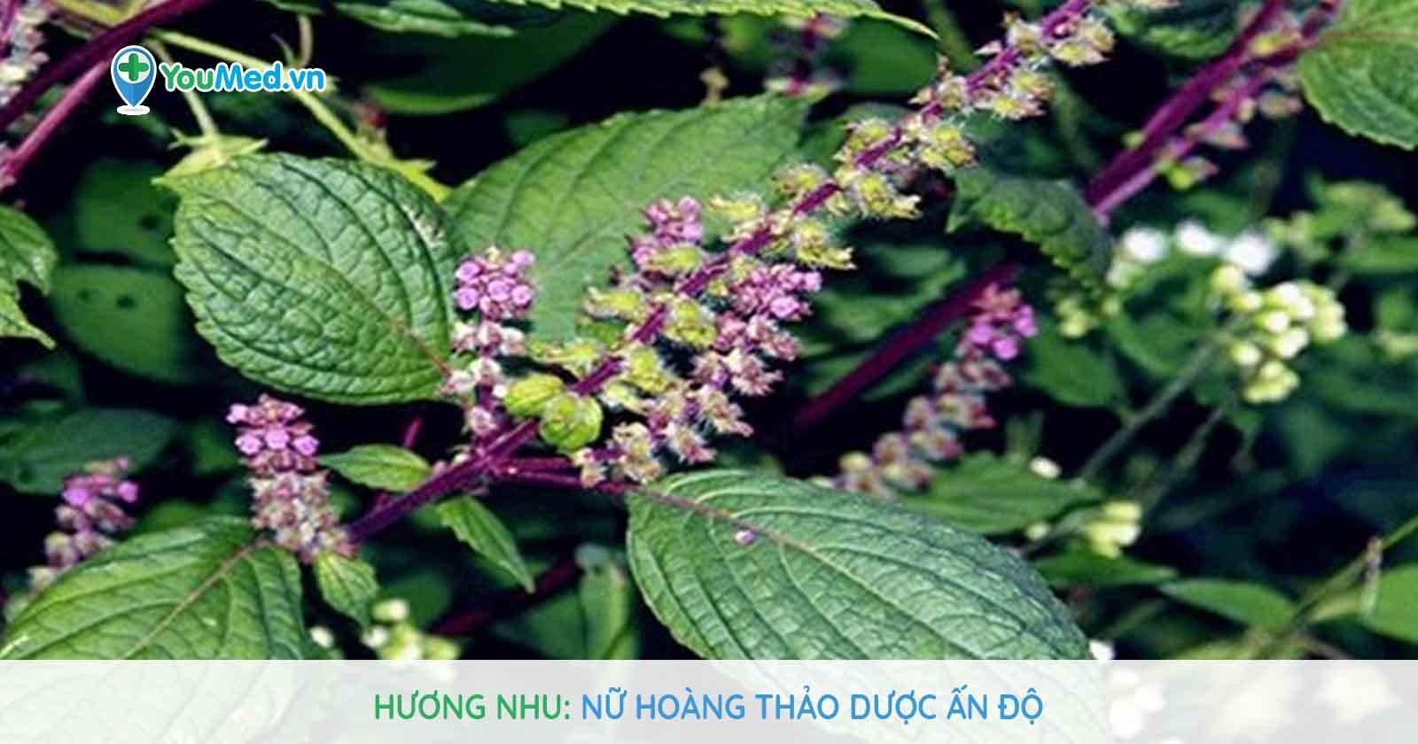 Hương nhu - nữ hoàng thảo dược Ấn Độ