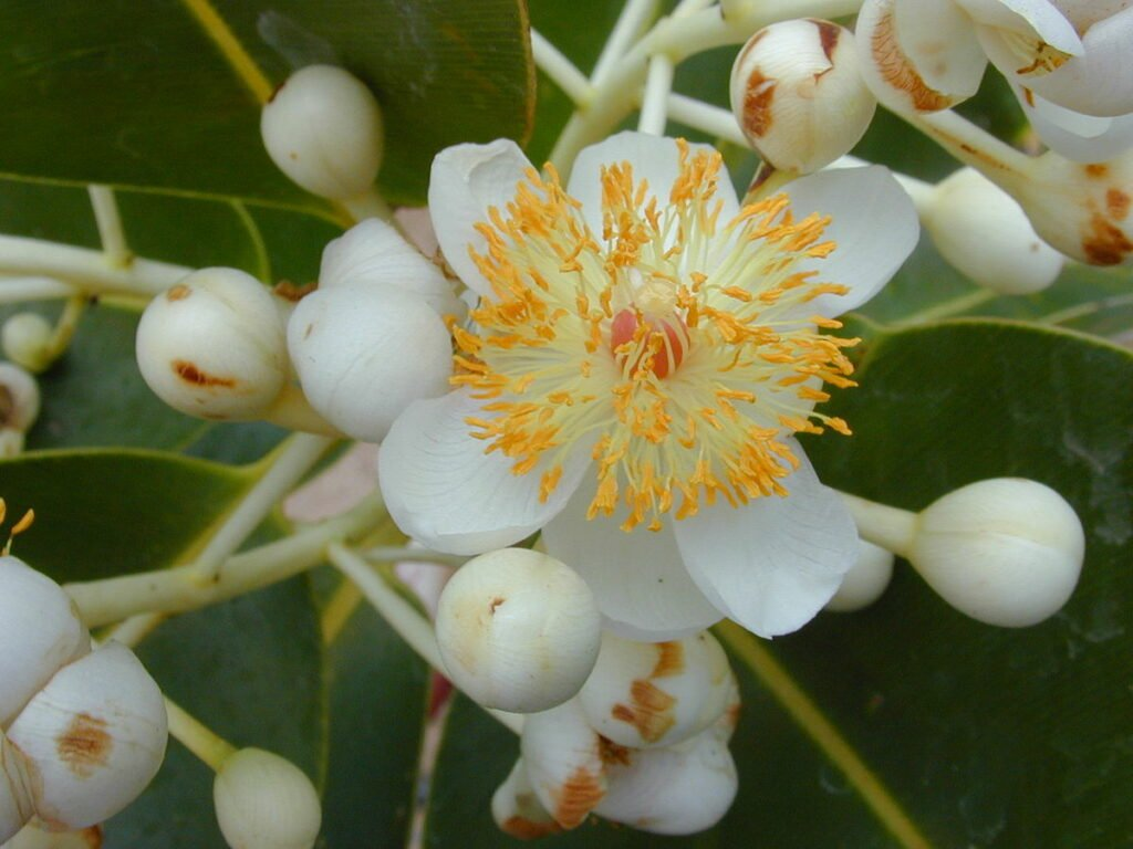 Hoa của cây mù u