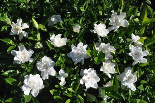 Hoa dành dành - Chi tử