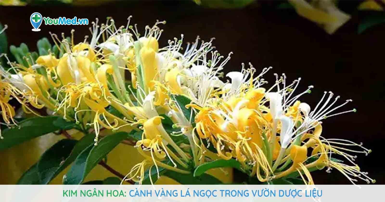 Kim ngân hoa - cành vàng lá ngọc trong vườn dược liệu