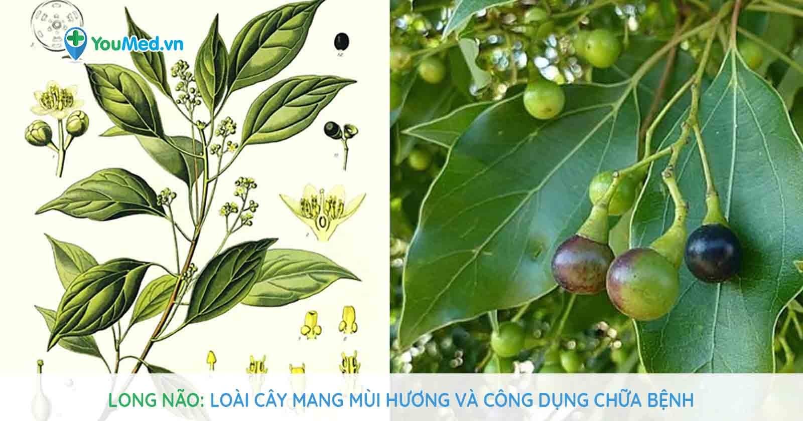 Long não - Loài cây mang mùi hương và công dụng chữa bệnh