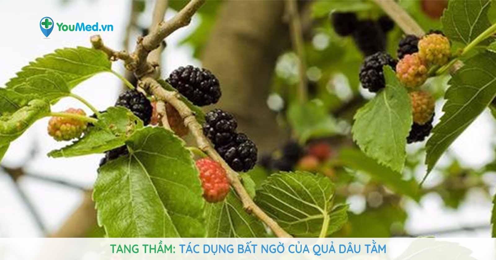 Tang thầm - Tác dụng bất ngờ của quả dâu tằm