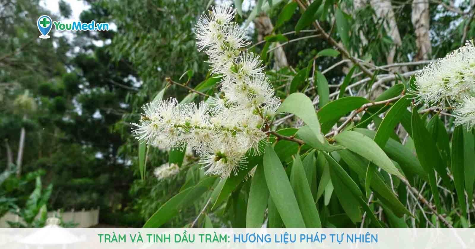 Tràm và tinh dầu tràm: Hương liệu pháp tự nhiên