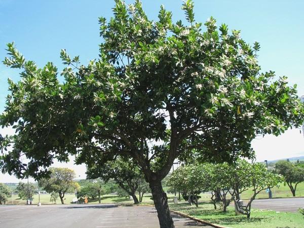 cây mù u