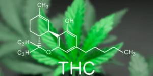 Giống như cần sa, cỏ mỹ cũng tác động lên thụ thể THC, nhưng mức độ mạnh hơn.