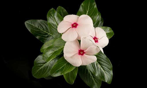 Dừa cạn