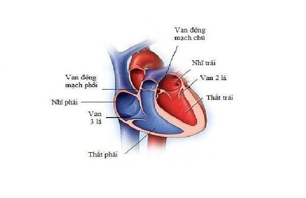 Cấu trúc tim bình thường