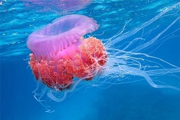sứa biển cắn