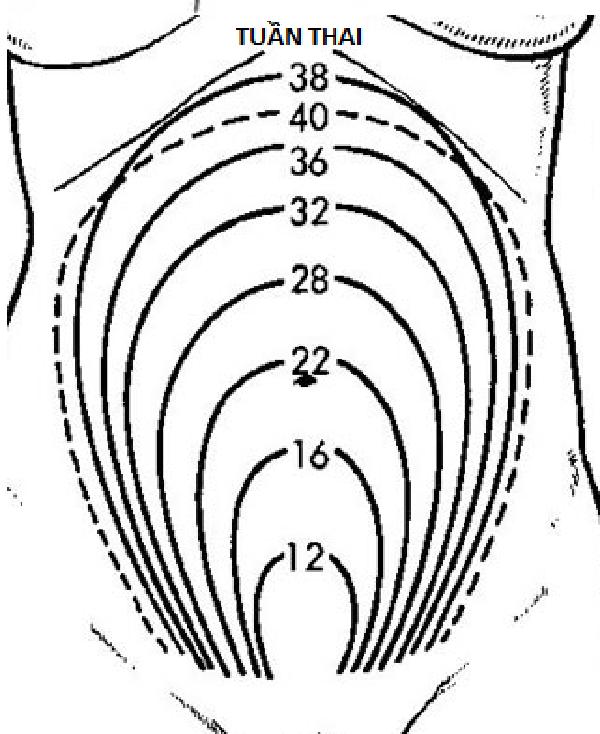 Kích thước của tử cung thay đổi hàng tuần
