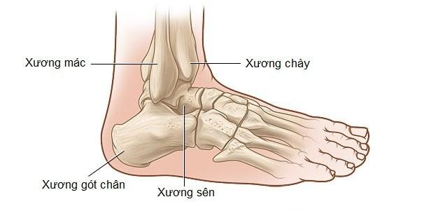 Cấu trúc giải phẫu học vùng cổ chân