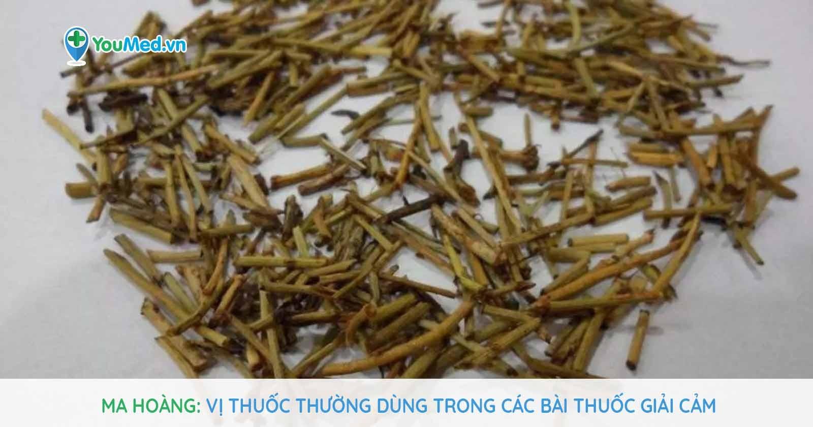 Ma Hoàng: vị thuốc thường dùng trong các bài thuốc giải cảm