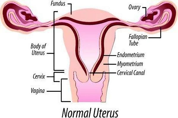 Tử cung ở phụ nữ - Vị trí tử cung khi mang thai