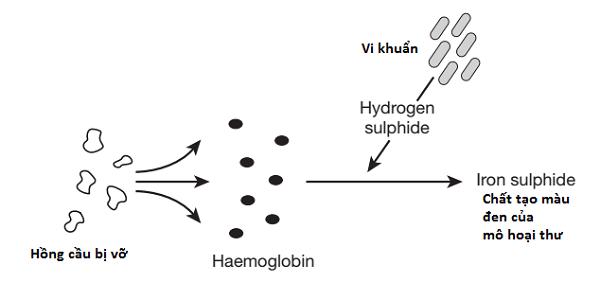 Quá trình hình thành màu đen của mô hoại thư