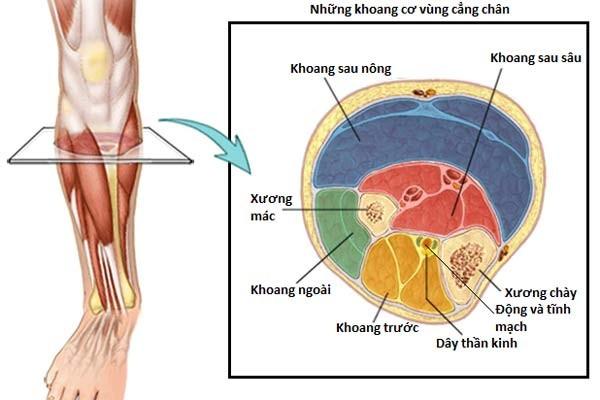 Khoang cơ ở cẳng chân
