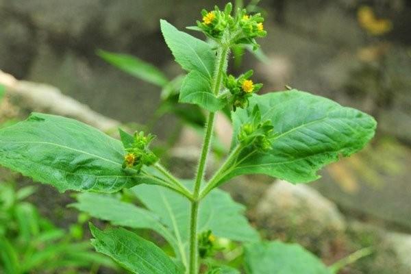 Lá và hoa của cây Hy thiêm