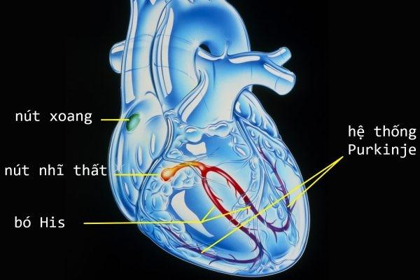 Hệ thống dẫn truyền trong tim