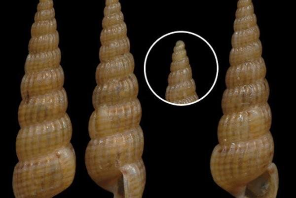 Ốc Pyrgostylus striatulus