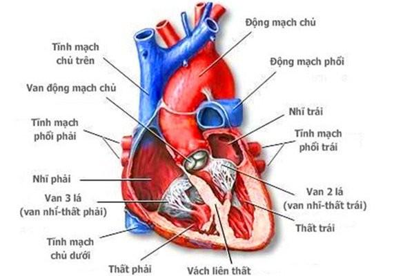 Cấu tạo của tim