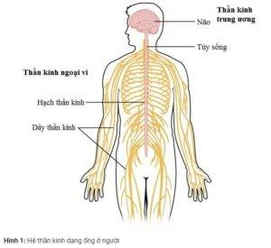 u dây thần kinh số VIII