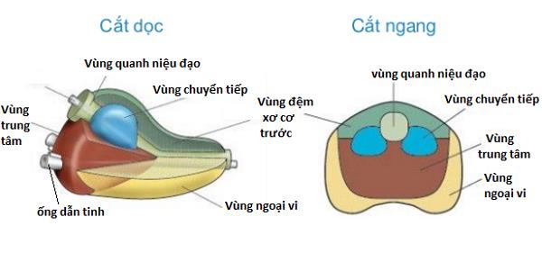 Cấu trúc chi tiết của tuyến tiền liệt