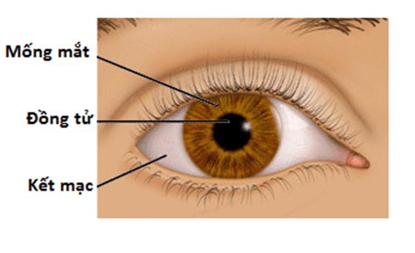 Mống mắt được cấu tạo bởi 2 cơ! Đó là cơ co đồng tử và cơ giãn đồng tử.