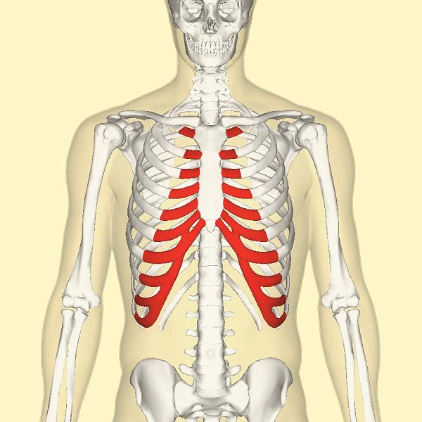 Minh họa các sụn sườn của khung sườn (màu đỏ)
