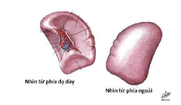Hình dạng của lách khi nhìn từ dạ dày và nhìn từ phía ngoài