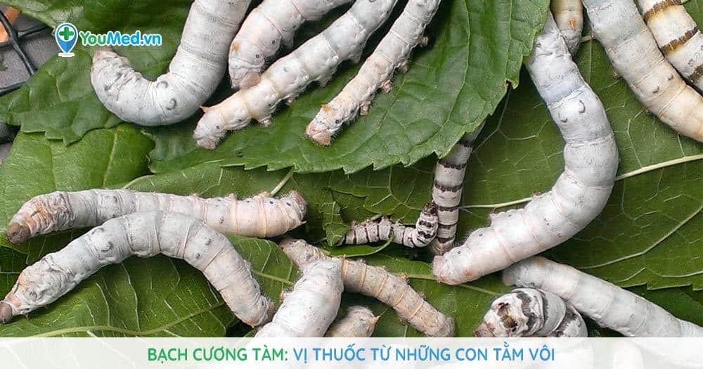 Bạch cương tàm: Vị thuốc từ những con tằm vôi