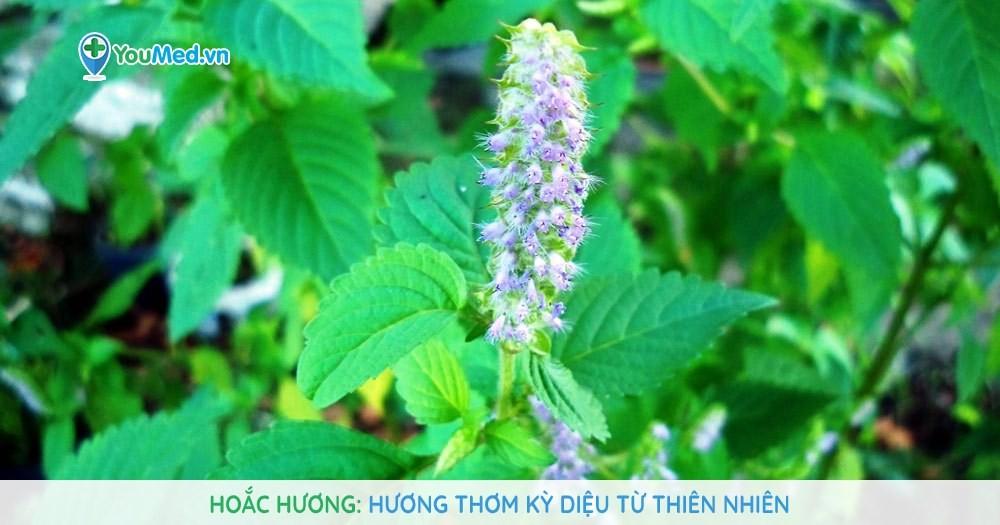 Hoắc hương: Hương thơm kỳ diệu từ thiên nhiên