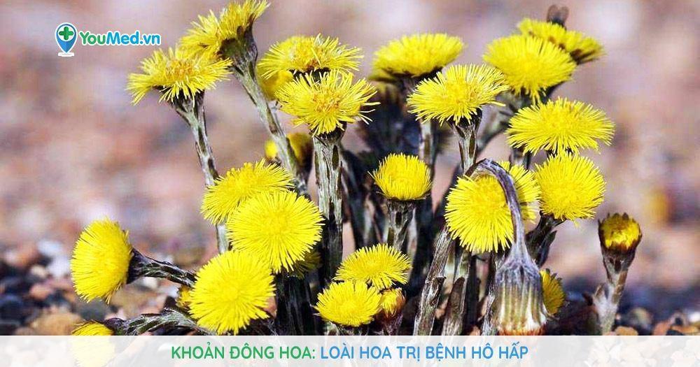Khoản đông hoa - Loài hoa trị bệnh hô hấp