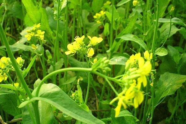 Cải canh có thể dùng làm thức ăn và làm thuốc, đặc biệt là từ hạt