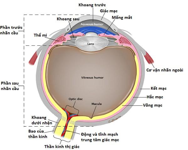 Len: Thuỷ tinh thể. Vitreous humor: Dịch kính. Optic disc: Gai thị giác – vị trí thần kinh thị giác tới mắt. Macula: Hoàng thể