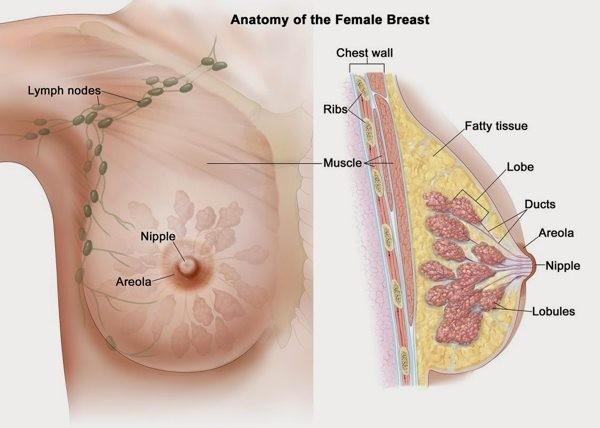 cấu tạo tuyến vú