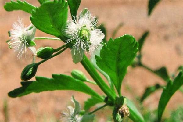Cam thảo đất là vị thuốc quý trong điều trị bệnh