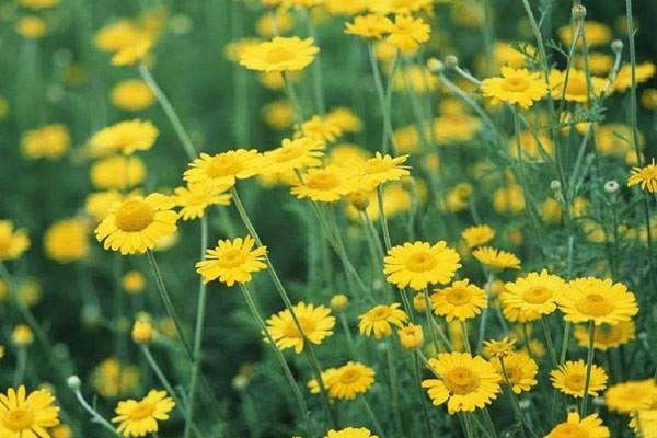Cúc hoa là một loài hoa quen thuộc ở Việt Nam