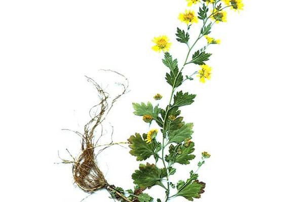 Bộ phận thường dùng để làm thuốc là hoa (cụm hoa)