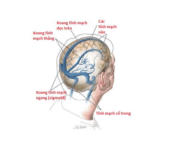 Các tĩnh mạch và xoang tĩnh mạch não.