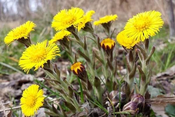 Cây Khoản đông hoa