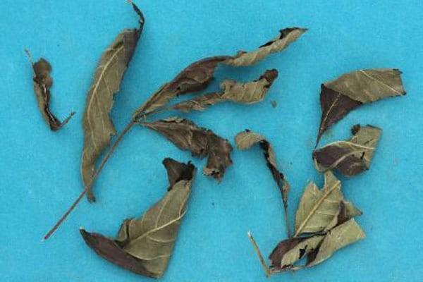 Lá, rễ và vỏ có thể dùng tươi hoặc khô đều được