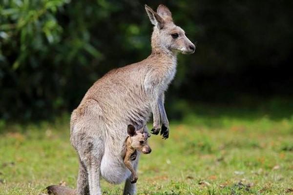 Phương pháp Kangaroo lấy theo loài động vật cùng tên