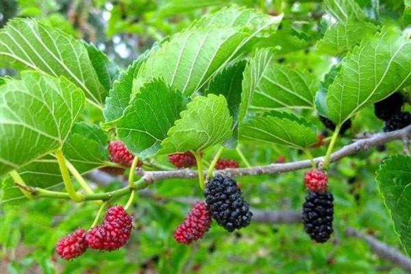 Tang diệp là lá cây dâu tằm