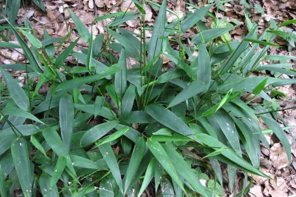 Vị thuốc Trúc diệp là thân lá phơi khô của cây Đạm trúc diệp