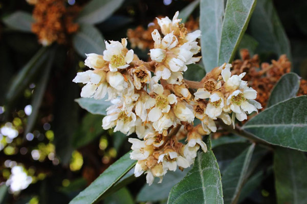 Tỳ bà là cây thảo dược quý được dùng nhiều trong Đông y